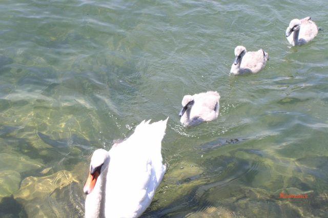 Genfi tó, Hermance 011 Hattyúk