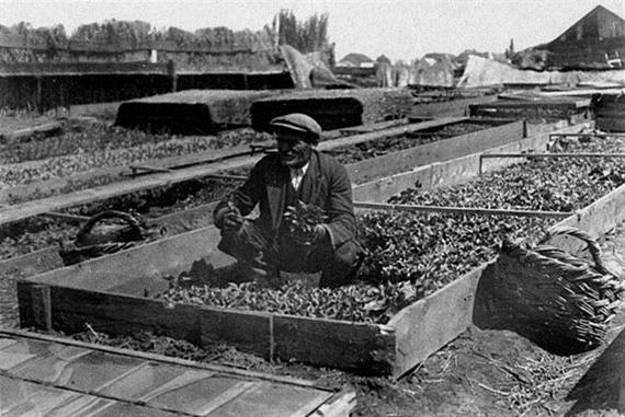 Bolgárk- Zugló paprika melegágya kipalántálás előtt 00356