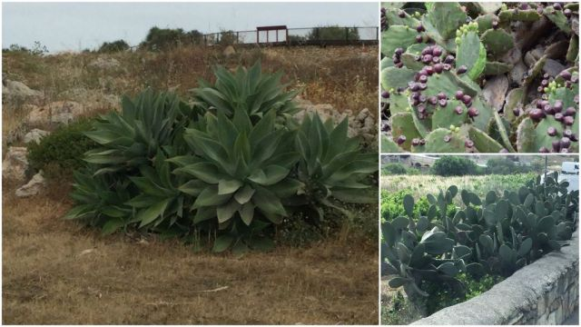 Kaktuszok Máltán