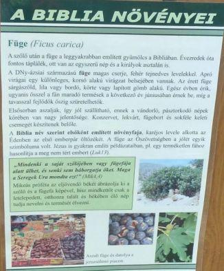 Arborétum, Vácrátót P1720268 Füge, Biblia növényei tábla