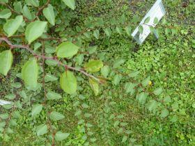 Arborétum, Vácrátót P1720291 zsidótövis