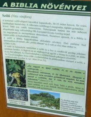 Arborétum, Vácrátót P1720302 Szőlő