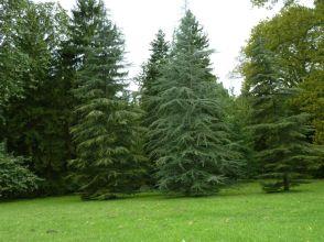 Arborétum, Vácrátót P1720388 Libanoni cédrus