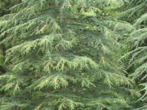 Arborétum, Vácrátót P1720389 Libanoni cédrus