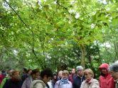Arborétum, Vácrátót P1720405 Keleti platán