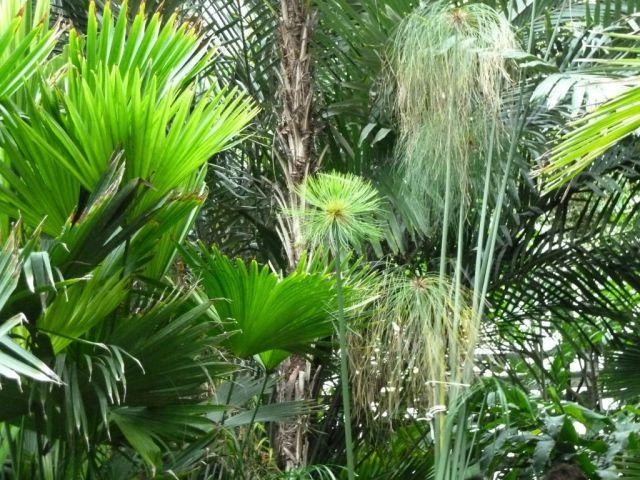 Arborétum, Vácrátót P1720436 Papirusz
