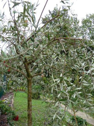Arborétum, Vácrátót P1720461 Olajfa