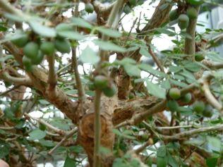 Arborétum, Vácrátót P1720483 mirha