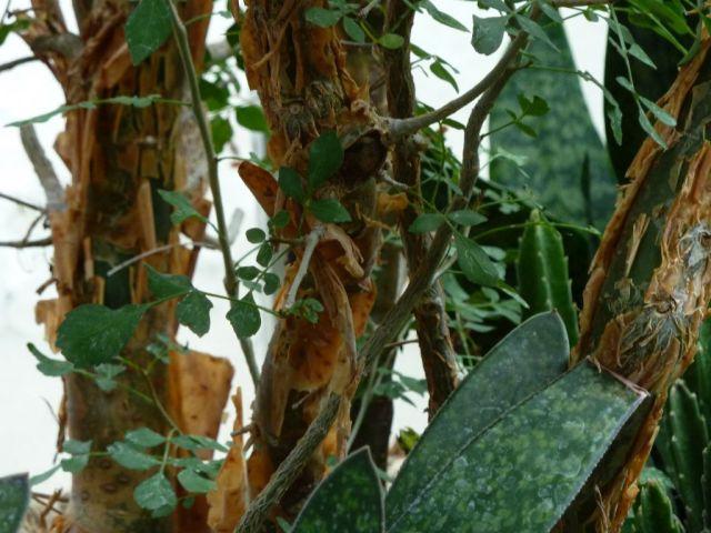 Arborétum, Vácrátót P1720485 mirha