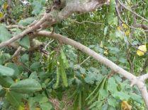 Gozo P1690266 Szentjánoskenyérfa