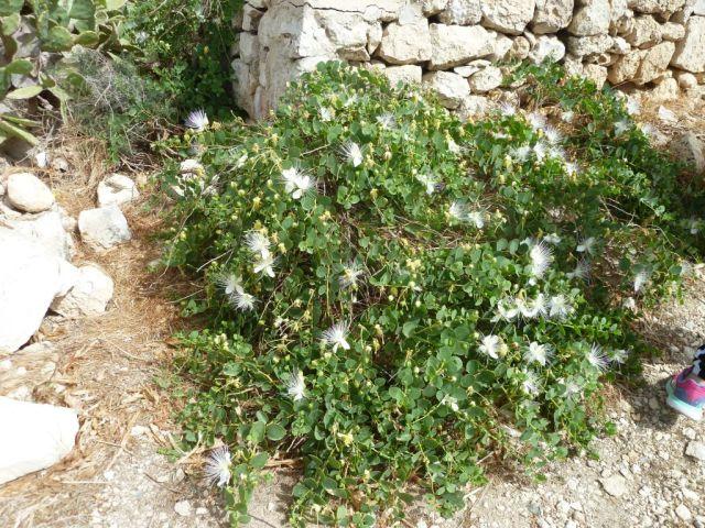Málta P1680418 Szent Pál szgt, kapri virág