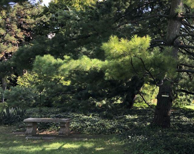 Zugló - japánkert IMG_4618 a himalájai hosszú tűs selyemfenyő