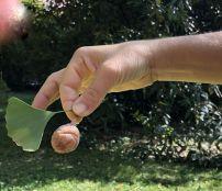 Zugló - japánkert IMG_4695 Gingko biloba termése