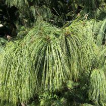 Zugló - japánkert IMG_4770 himalájai hosszú tűs selyemfenyő- fiatal termések