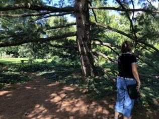 Zugló - japánkert IMG_4773 himalájai hosszú tűs selyemfenyő