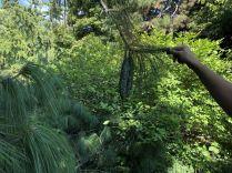 Zugló - japánkert IMG_4774 himalájai hosszú tűs selyemfenyő- zöld termés