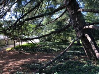 Zugló - japánkert IMG_4775 himalájai hosszú tűs selyemfenyő- kötény