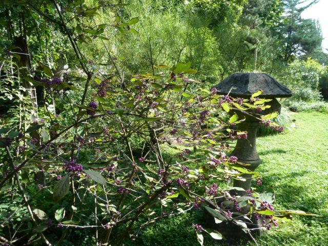 Zugló - japánkert P1760532 Kínai lilabogyó