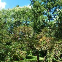 Zugló - japánkert P1760542 díszalma fa