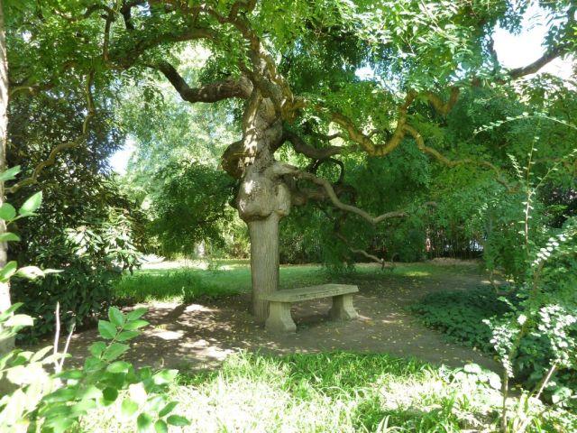 Zugló - japánkert P1760544 Pagodafa v. csüngő japánakác