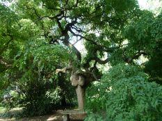 Zugló - japánkert P1760547 Pagodafa, Sophora japonica