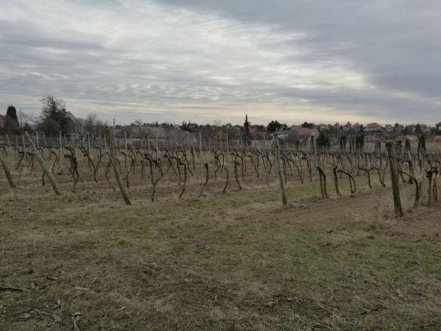 Budafok IMG_20190224_121422 szőlőtőkék