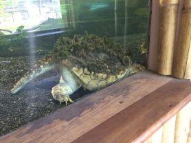 IMG_3632 Nyíregyháza, Zoo keselyűteknős
