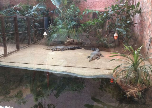 IMG_3639 Nyíregyháza, Zoo Mississippi aligátor