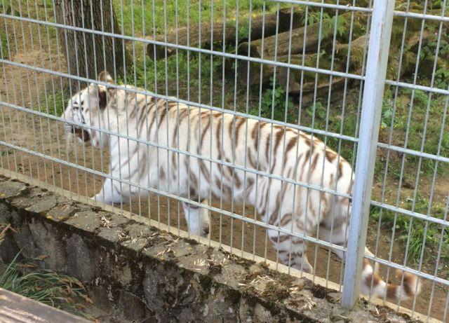 IMG_3660 Nyíregyháza, Zoo fehér tigris