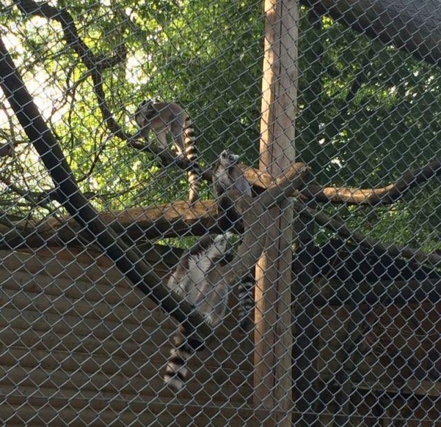 IMG_3704 Nyíregyháza, Zoo gyűrüsfarkú maki
