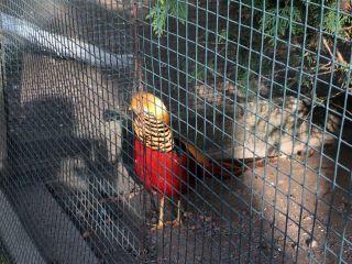 IMG_3716 Nyíregyháza, Zoo aranyfácán