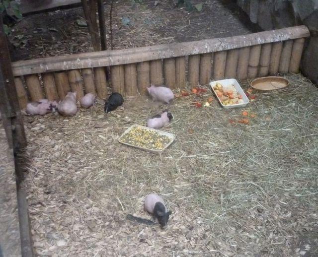 P1740913 Nyíregyháza, Zoo kopasz tengerimalac